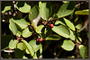 California buck thorn / Coffee berry <i> (Rhamnus tomentella)</i>