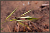 Cheat grass / Downy brome <i> (Bromus tectorum)</i>