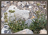 Milkweed, spider <i> (Asciepias asperula)</i>