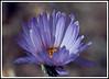 Aster, Mojave  <i>(Xylorhiza tortifolia)</i>