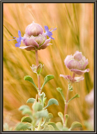 Wildflowers of the North East Mojave Desert