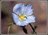 Blue flax<i> (Linum lewisii)</i>