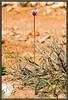 Bluedicks / Desert hyacinth <i>(Dichelostemma capitatum)</i>