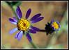 Aster, Hoary <i>(Dieteria canescens)</i>