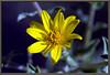 Aster, golden  <i> (Heterotheca villosa)</i>
