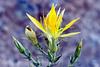 Blazing star, Desert <i> (Mentzella laevicaulis)</i>