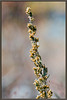 Big sagebrush <i> (Artemisia tridentata)</i>