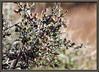 Black brush <i>(Coleogyne ramosissima)</i>