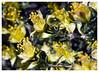 Black brush<i> (Coleogyne ramosissima)</i>