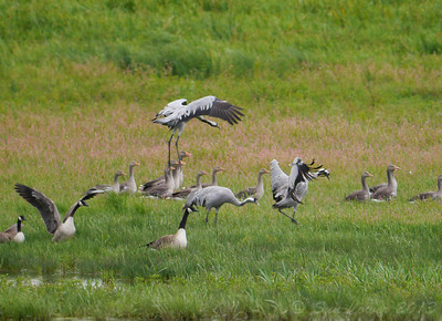 Common Crane (Grus grus), Ouse Washes RSPB, Cambridgeshire, 17/08/2013. The birds were some 200 metres away so distant shots, very heavy crops but wonderful to get a record of my first sighting of this species in the wild.