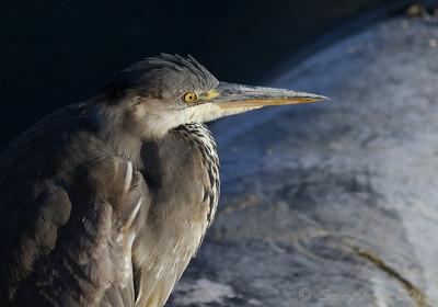 Grey Heron (Wilstone)