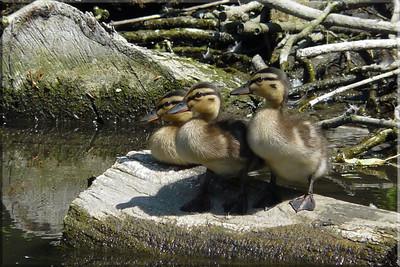 Mallards (Anas platyrhynchos) [ducklings], St Albans, Hertfordshire, 05/07/2011.