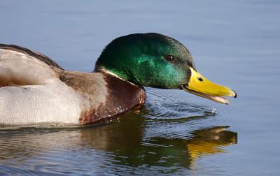 Mallard (Anas platyrhynchos) [male], Marsworth reservoir, Hertfordshire, 01/03/2012.