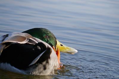 Mallard (Anas platyrhynchos) [male], Marsworth reservoir, Hertfordshire, 01/03/2012. Mid-preen!