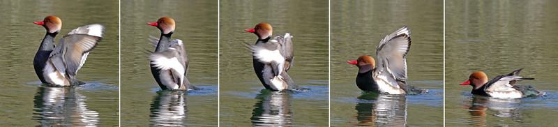 Red-crested Pochard (Netta rufina) [male], Bury Lake, Rickmansworth, Hertfordshire, 08/03/2012. Lesson learnt from earlier in the week - caught the full wing stretch sequence - just a shame he wasn't better placed for good photographs (best viewed in original size).