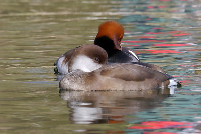 Red-crested Pochard (Netta rufina) [pair], Bury Lake, Rickmansworth, Hertfordshire, 08/03/2012. After the food comes the snooze....and someone in a bright coat walked behind giving the interesting colours to the water.