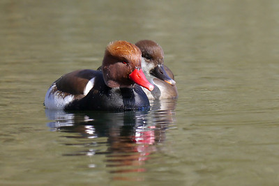 Red-crested Pochard (Netta rufina) [pair], Bury Lake, Rickmansworth, Hertfordshire, 08/03/2012.