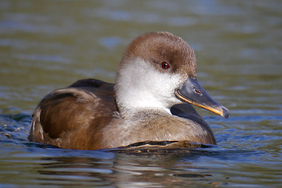 Red-crested Pochard (Netta rufina) [female], Bury Lake, Rickmansworth, Hertfordshire, 03/03/2012