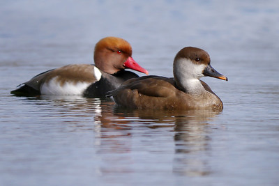 Red-crested Pochard (Netta rufina) [pair], Bury Lake, Rickmansworth, Hertfordshire, 03/03/2012