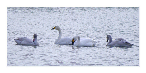 Bewick's Swans (Cygnus columbianus), Wilstone Reservoir, Hertfordshire, 16/11/2011. A family party. Migrants, straight from arctic Russia.