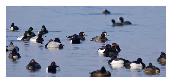 Scaup (Aythya marila) [4 adult males (left); 1 female (centre), 1 1stW male (right)], Hilfield Park reservoir, Hertfordshire, 11/02/2012. 3 of the handsome male Scaups are bunched together on the left (dark, greeny heads) with the 4th coming up behind. In the centre of the photo, there's the female with the white patches around the base of the bill and the hint of a white cheek patch. Swimming in front of her is the immature male (again with white patches at the base of the bill but the plumage is developing the male colouring).