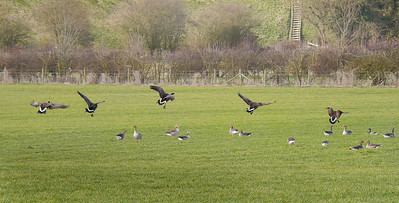 Canada Geese drop in to Greylag flock at Wilstone reservoir, Hertfordshire, 25/02/2012.