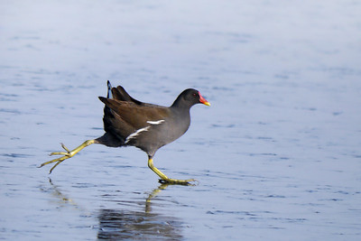 Moorhen (Gallinula chloropus), Hilfield Park reservoir, Hertfordshire, 11/02/2012. Moorhen on ice!