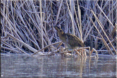 Bittern (Botaurus stellaris), Marsworth reservoir, Hertfordshire, 04/02/2012 (side view). -6 deg C, the reservoir was completely frozen over. My first sighting and find of this species.