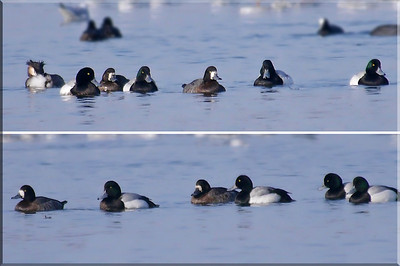 Scaup (Aythya marila), Hilfield Park reservoir, Hertfordshire, 11/02/2012. Front and side views of all 6 birds (video grabs). Top: male, female, male, 1stW male, male, male. Bottom: 1stW male, male, female, male, male, male.