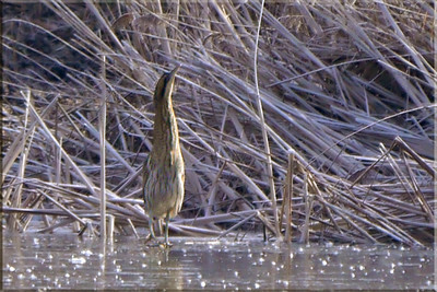 Bittern (Botaurus stellaris), Marsworth reservoir, Hertfordshire, 04/02/2012 (front view). -6 deg C, the reservoir was completely frozen over. My first sighting and find of this species.