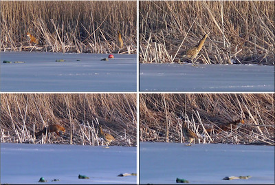 Bittern (Botaurus stellaris) & Red Fox (Vulpes vulpes), Marsworth reservoir, Hertfordshire, 07/02/2012. The story begins top left. I watched the fox enter the reedbed some 200 metres left, away from the Bittern. It stealthily made its way through the reeds and then emerged to take a look around. The Bittern spotted him and is stepping out of its resting place to walk right, away from the Fox. The Fox followed....slowly. The Bittern stopped, turned to face the Fox. The Fox kept coming and, in fact, passed by uneventfully. The Fox went right. The Bittern went left and eventually flew to reeds further away. Great to watch this unfold.
