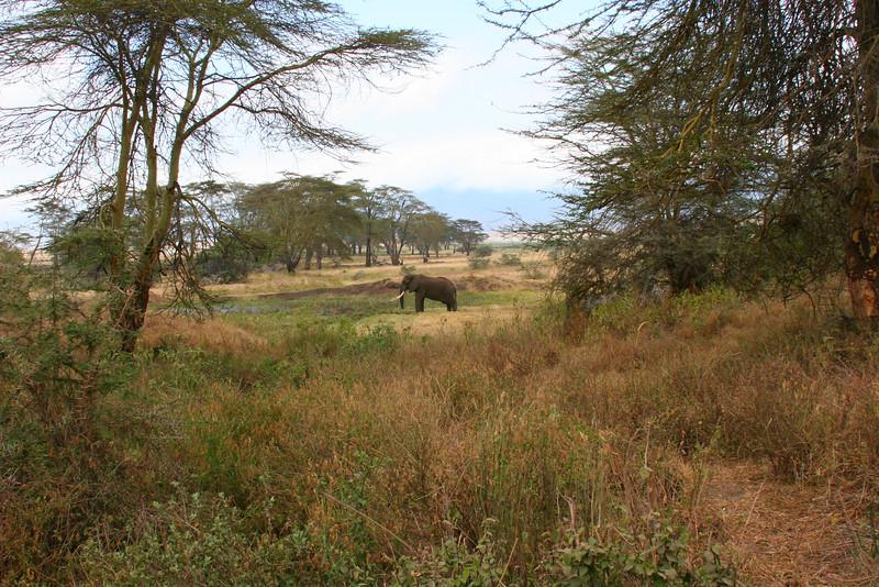 African elephant 18