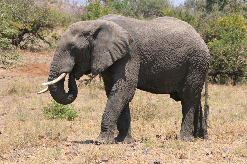 African elephant 13