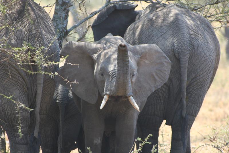 African elephant 12