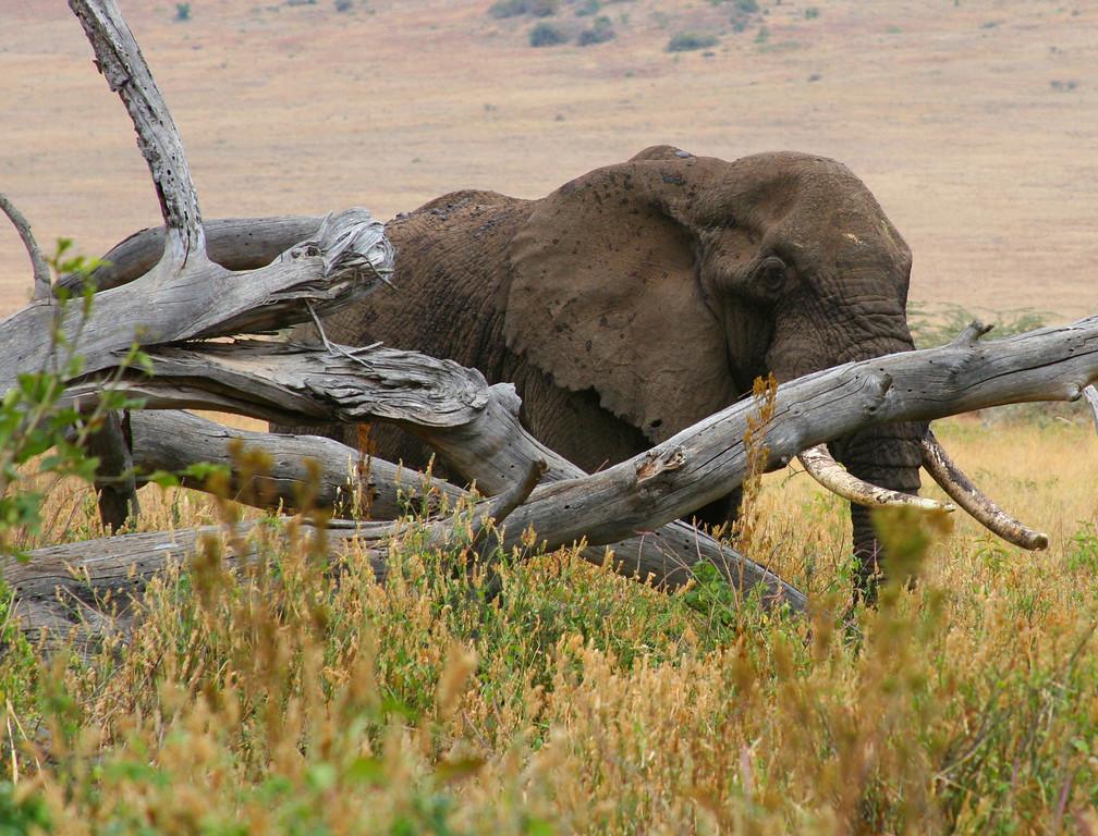 African elephant 5