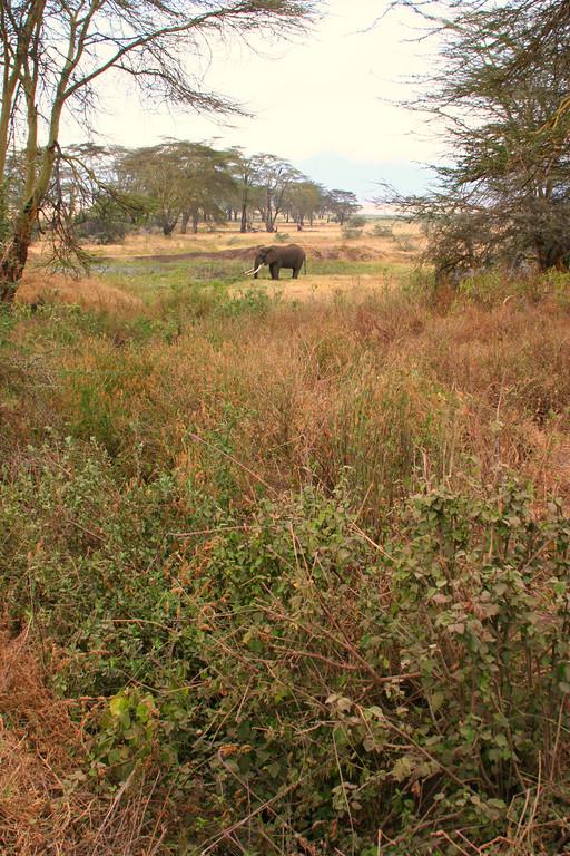 African elephant 19
