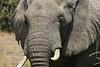 African elephant 14