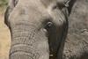 African elephant 15