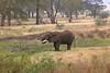 African elephant 17