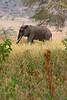 African elephant 2