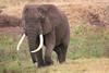 African elephant 16