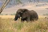 African elephant 11