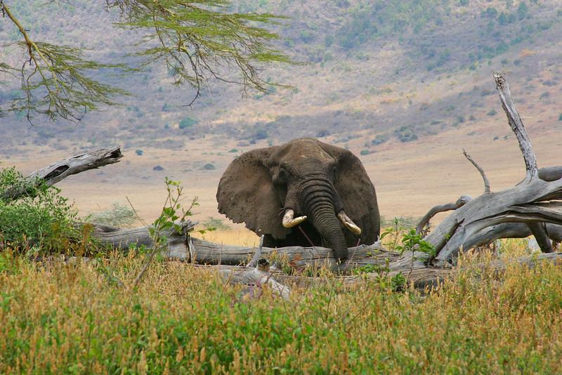 African elephant 6