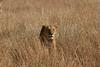 Lioness 4