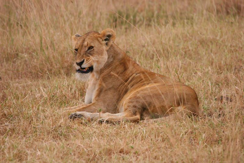 Lioness 1