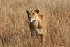 Lioness 5
