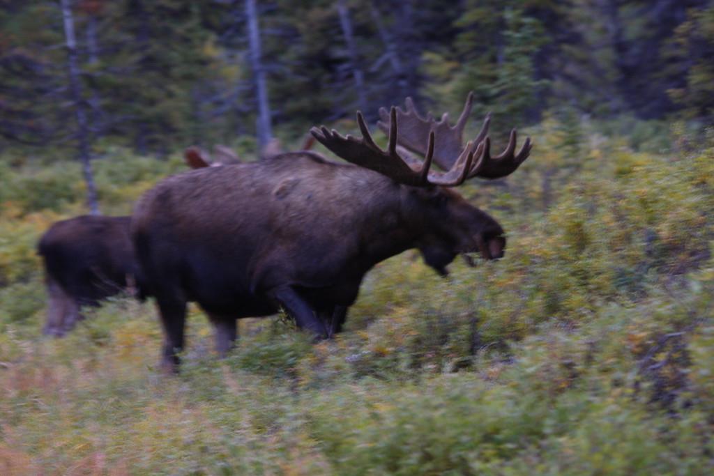 Alaska moose 2