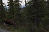 Alaska moose 20