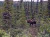 Alaska moose 4