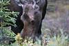 Alaska moose 3